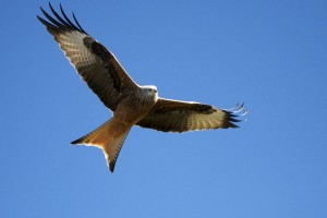 Red KIte (Milvus milvus) in flight, with a halo of light, in Sierra de Gredos, in Avila, Spain.